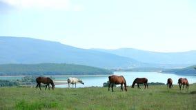 Herd Of Horses Grazing In Mountain Valley stock video footage