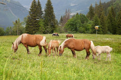 A herd of horses grazing in the mountains Royalty Free Stock Photo