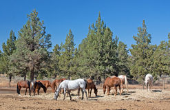 Herd of Horses Grazing Near Juniper Stock Image