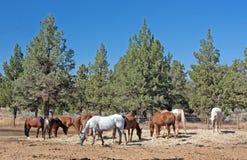 Herd of Horses Grazing Near Juniper. A herd of horses grazing near juniper trees on a sunny day stock image