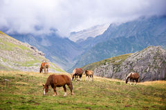 Herd of horses grazing near Pourtalet pass, Ossau valley in the Pyrenees Royalty Free Stock Photography