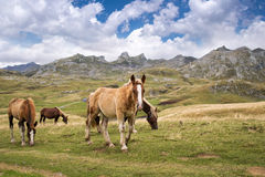 Herd of horses grazing near Pourtalet pass, Ossau valley in the Pyrenees France Stock Photos