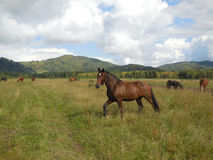 Herd of horses grazing in a pasture in the mountain Altai. Stock Photos