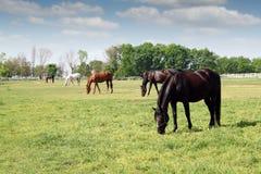 Herd of horses grazing Stock Photos