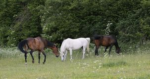 Herd of horses grazing in a spring meadow