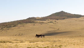 Herd of horses grazing in the steppe. Stock Images