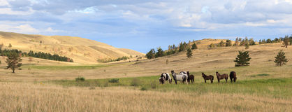 Herd of horses grazing in the steppe. Stock Photos