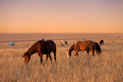 Herd of horses grazing in sunny evening pasture Royalty Free Stock Photo