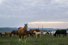 Herd of horses in the sunset stock images
