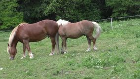 Herd of horses in green pasture stock video footage