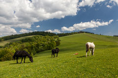 Herd of horses on green pastures Royalty Free Stock Images