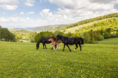 Herd of horses on green pastures Royalty Free Stock Photos