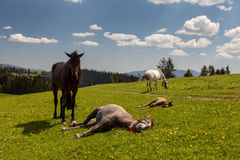 Herd of horses on green pastures Stock Image