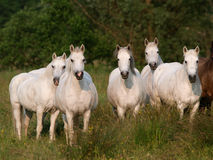 Herd Of Horses Stock Image