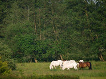 Herd Of Horses Royalty Free Stock Image