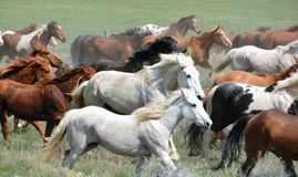 Herd of Horses. In Colorado Royalty Free Stock Image
