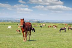 Herd of horses. In the field Stock Image