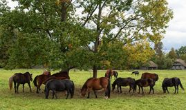 Herd of horses. Grazing grass in pasture, Lithuanian countryside, rural scene royalty free stock photos