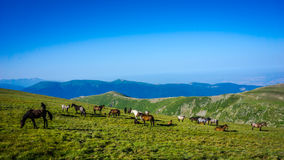 Herd Of Horses high In The Mountains Stock Photography