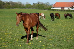 Herd of Horses at a Horse Farm Royalty Free Stock Photos