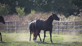 Herd of horses lightly galloping stock video footage