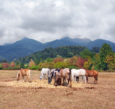 A herd of horses and Mala Fatra National Park stock images