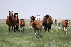 Herd of Horses (Mares & Babies). Herd of Mother and Baby Horses in the American West (shallow focus stock photography