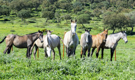 Herd of horses in a meadow Royalty Free Stock Photography