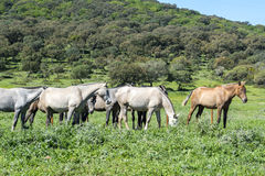 Herd of horses in a meadow Royalty Free Stock Images