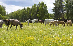 Herd of horses on meadow in blossom Royalty Free Stock Photo