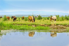 Herd of horses on a meadow near water Royalty Free Stock Image