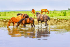 Herd of horses on a meadow in water Royalty Free Stock Photos