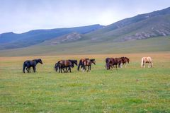 Horses around Song Kul lake, Kyrgyzstan. Herd of horses in misty green landscape by Song Kul lake, Kyrgyzstan Royalty Free Stock Photos