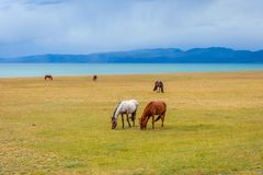 Horses around Song Kul lake, Kyrgyzstan. Herd of horses in misty green landscape by Song Kul lake, Kyrgyzstan Stock Image