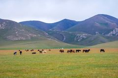 Horses around Song Kul lake, Kyrgyzstan. Herd of horses in misty green landscape by Song Kul lake, Kyrgyzstan Royalty Free Stock Photography