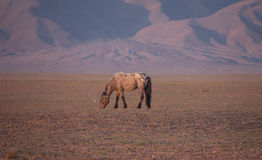 Herd of horses in the mongolian Royalty Free Stock Photography