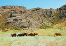 Herd of horses among mountains Stock Images