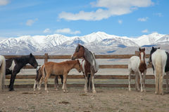 A herd of horses Stock Photography
