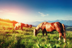 The herd of horses in the mountains Royalty Free Stock Image