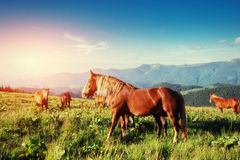The herd of horses in the mountains Royalty Free Stock Images