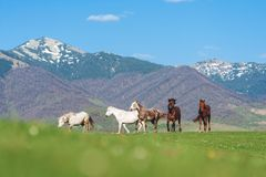 The herd of horses in the mountains. royalty free stock photos