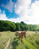 A herd of horses. Moves along the field stock photo