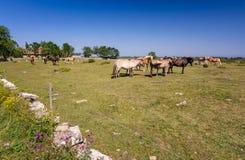 Herd of horses on Oland island Royalty Free Stock Image
