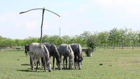 Herd of horses stock video