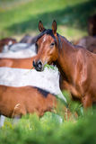 Herd of horses in pasture Stock Images