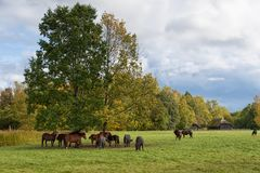 Herd of horses in pasture Lithuania stock photo