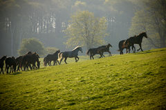 Herd of horses on pasture Stock Images