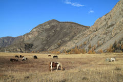 Herd of horses on a pasture in mountains Stock Photography