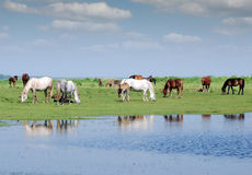 Herd of horses on pasture Royalty Free Stock Photography