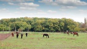 Herd of  horses on pasture rural stock footage